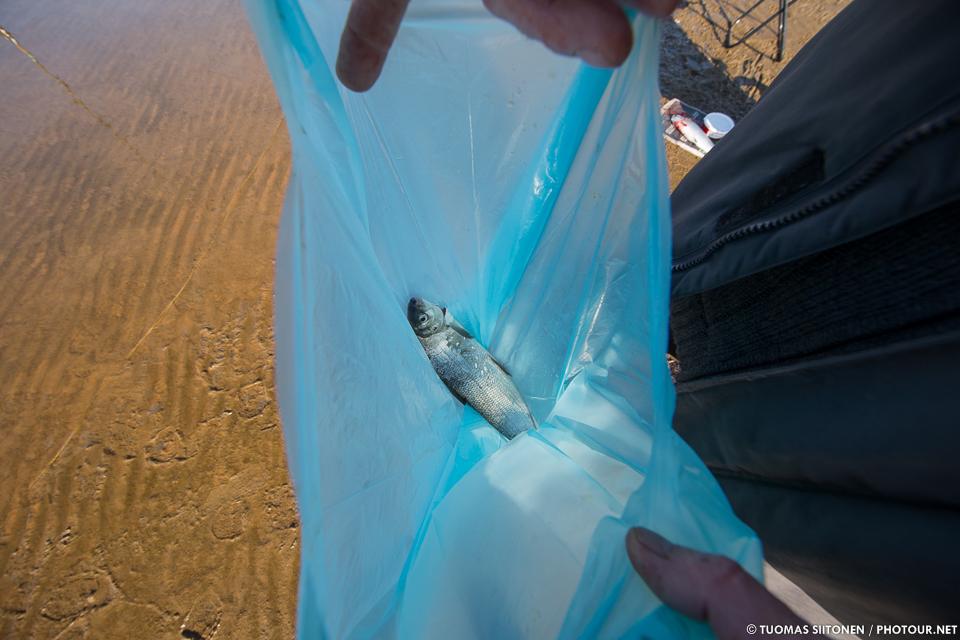 One-kilo whitefish.